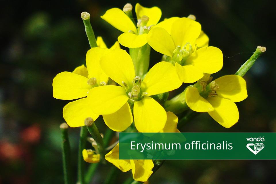 Erysimum_officinalis