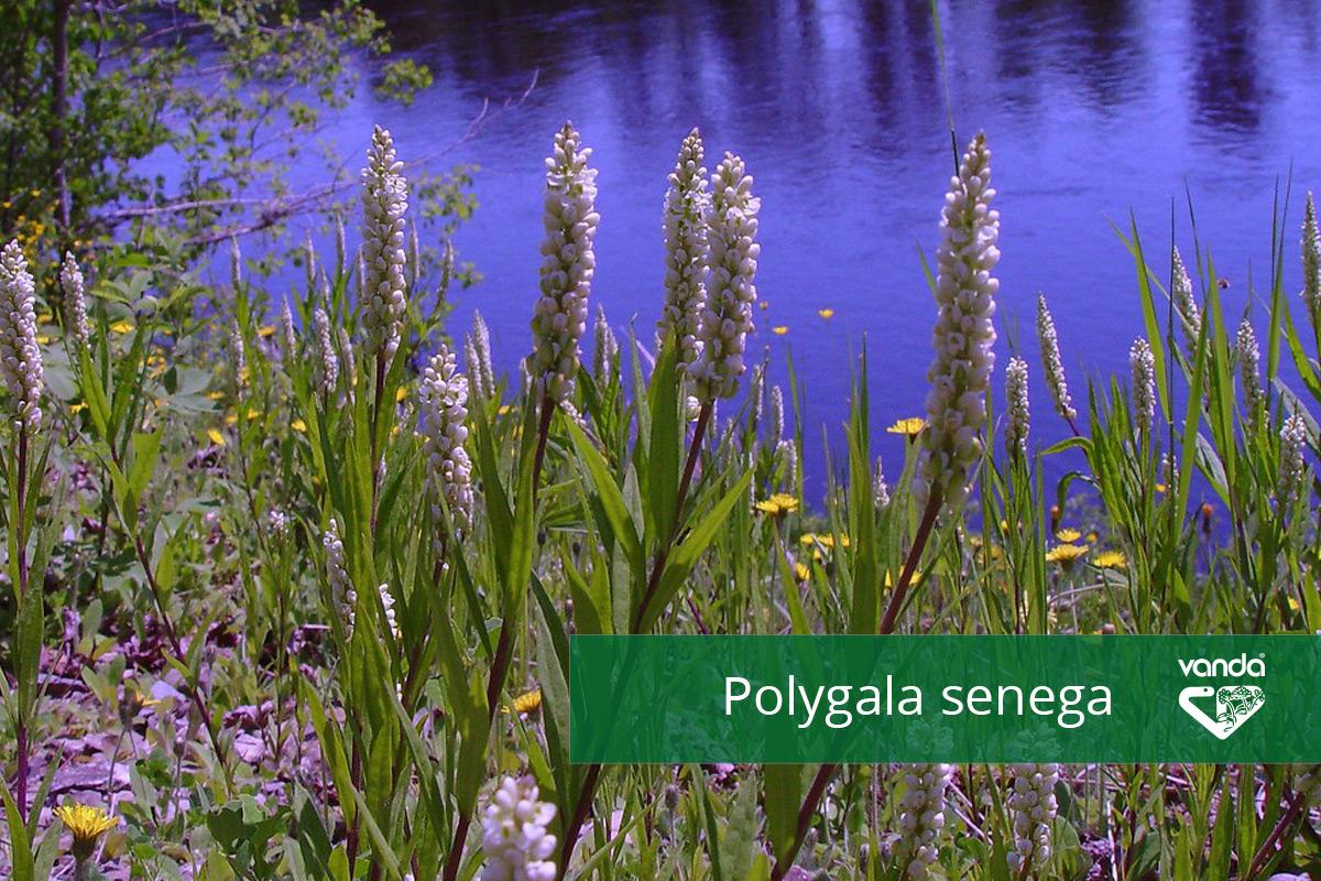 Polygala-senega