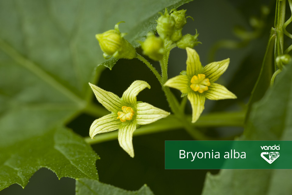 Bryonia-alba