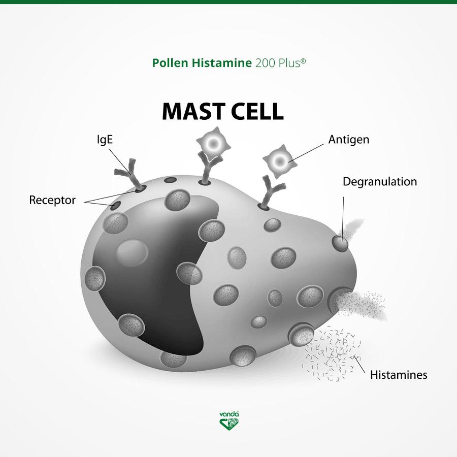 infografica allergia mastocita basofilo
