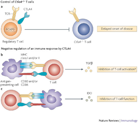 la funzione del CTLA-4 nella immunoterapia oncologica