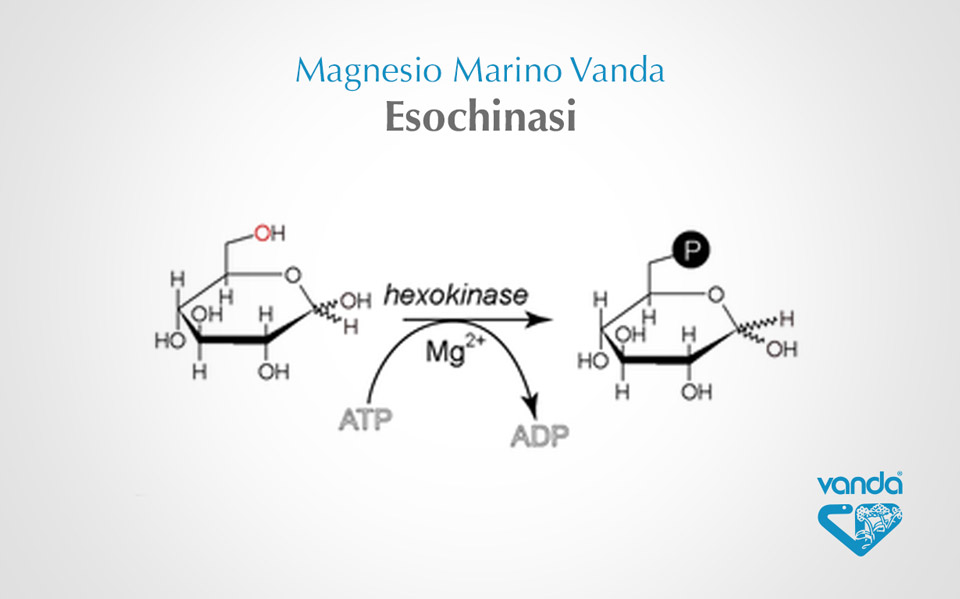 esochinasi e magnesio