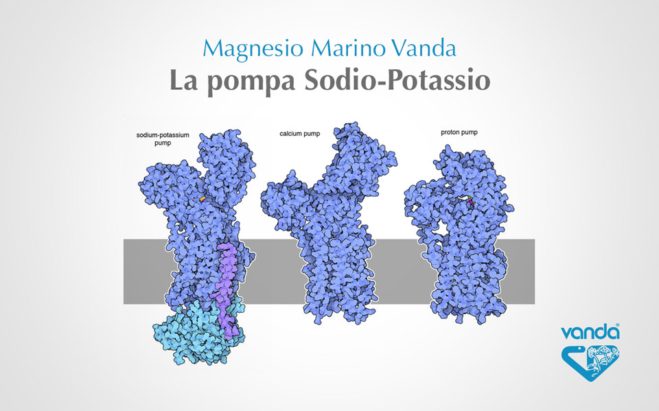 pompa sodio potassio infografica