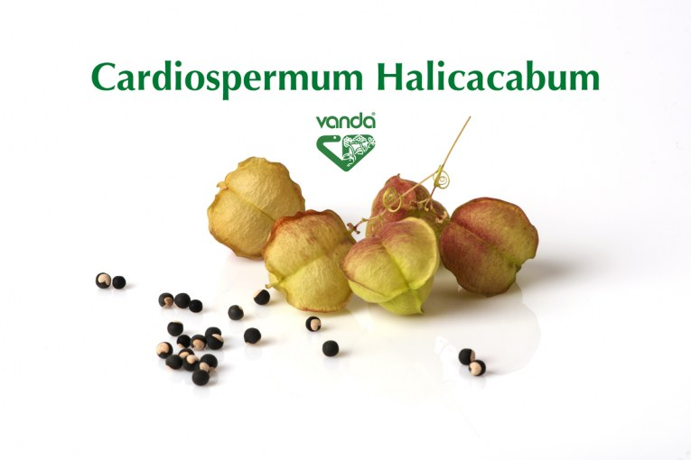 Cardiospermum Halicacabum.