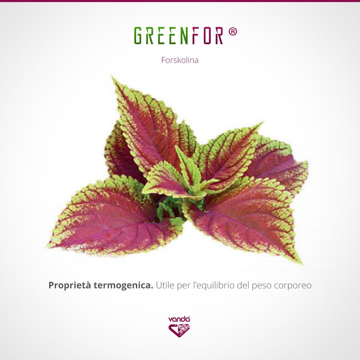 Forskolina, termogenico naturale