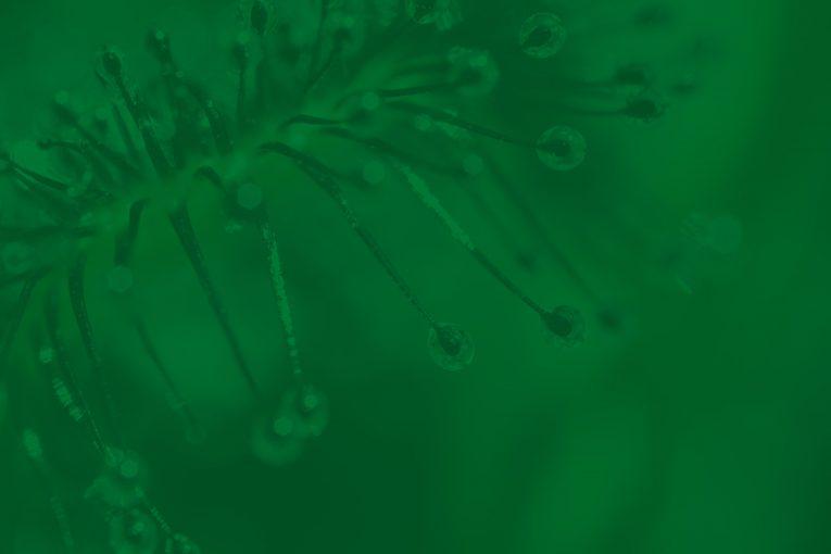 Drosera Rotundifolia, proprietà